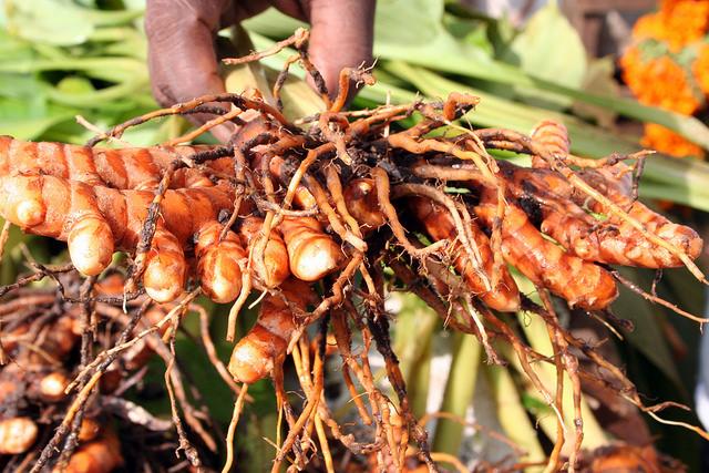 turmeric rhizomes fresh from the ground