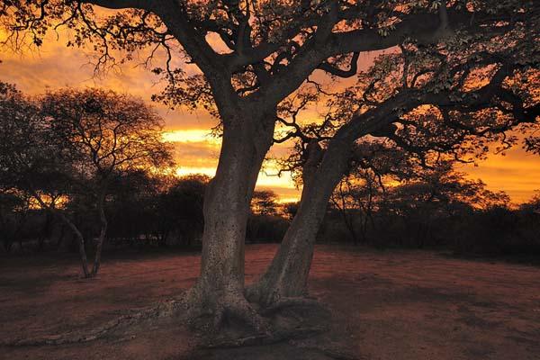 mongongo manketti tree