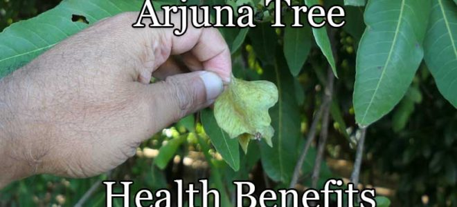 Arjuna Tree Health Benefits Explained