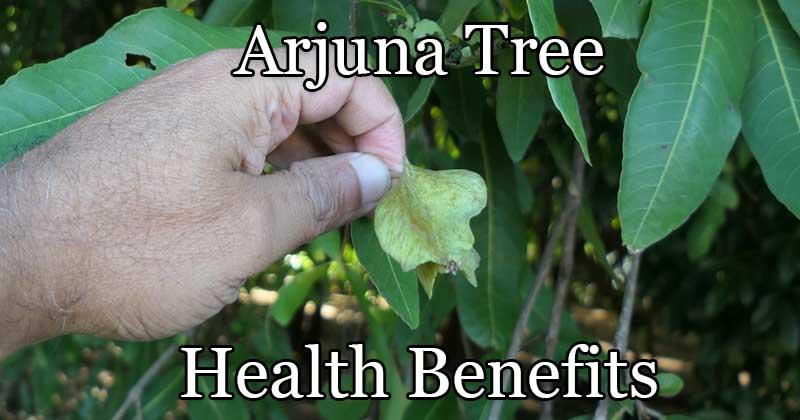 arjuna tree health benefits