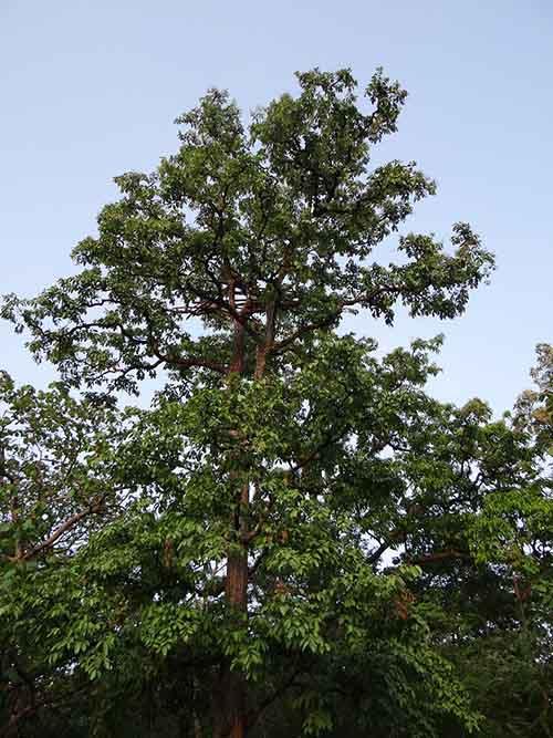 tall terminalia arjuna tree in India