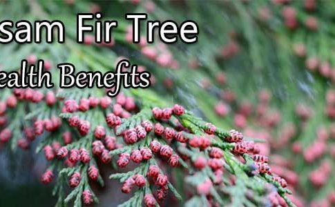 Balsam Fir Tree Health Benefits