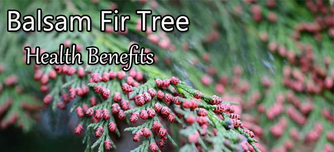 Balsam Fir Tree Health Benefits
