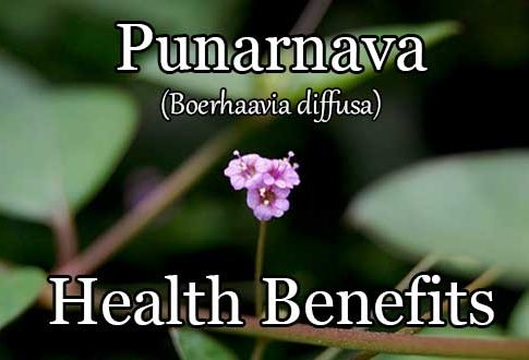 Boerhaavia Diffusa (Punarnava): A Cheap Yet Powerful Superfood