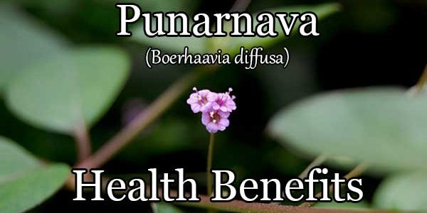 Boerhaavia Diffusa (Punarnava): A Cheap Yet Powerful Superfood