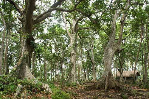 pili nut tree