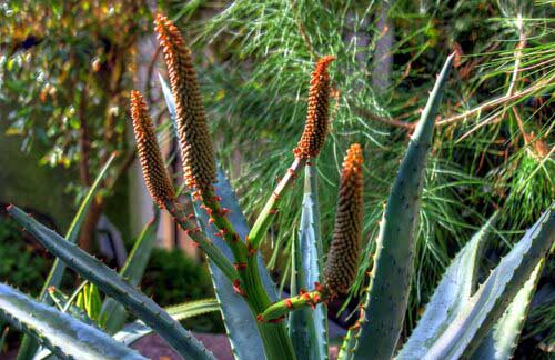 cape aloe superfood plant
