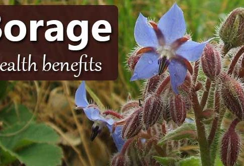 Borage: The GLA Superfood which Transforms Your Skin