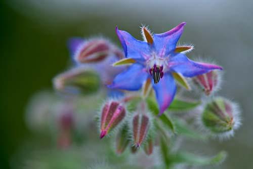 borage plant flower