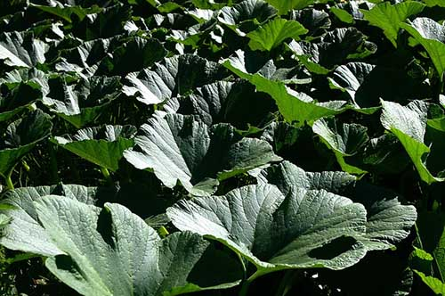 pumpkin leaves edible superfood