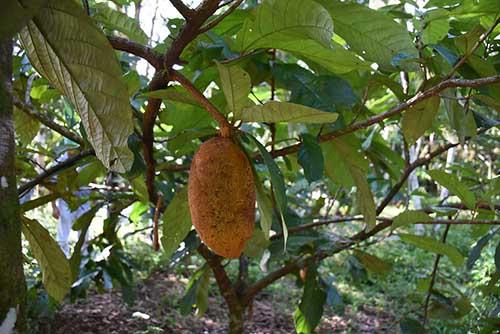 cupuacu fruit on tree