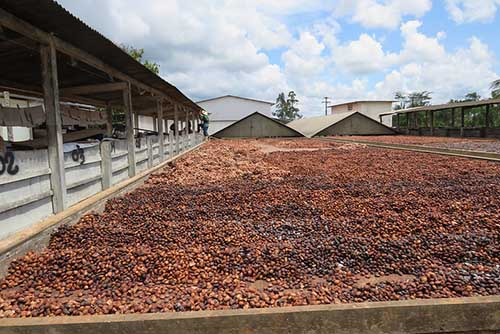 cupuacu seeds drying
