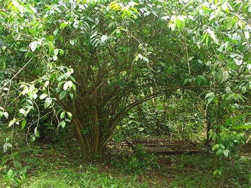 guayusa tree