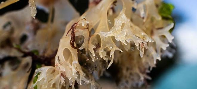 The Benefits of Irish Sea Moss Benefits (Actually Backed by Science)