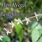guinea hen weed amanu health benefits