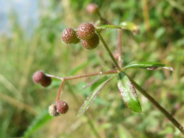 cleavers plant berries and seeds