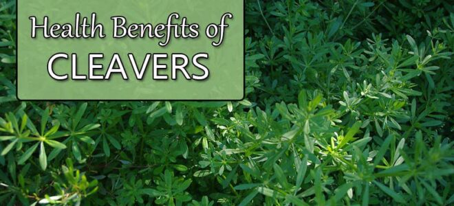Cleavers Herb (Galium Aparine): Top Benefits and Uses