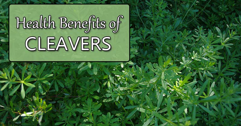 health benefits of cleavers plant