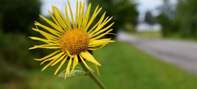 Health Benefits of Elecampane, As Backed by Science