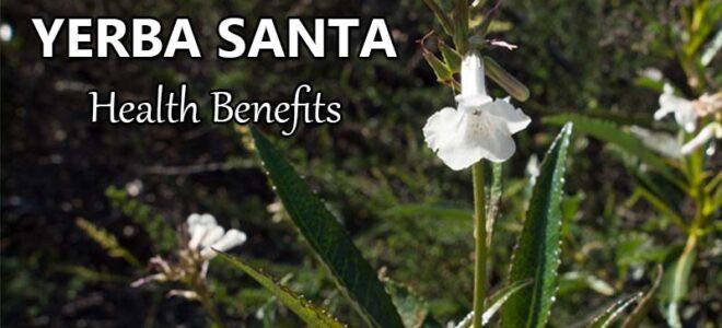 Health Benefits of Yerba Santa (Eriodictyon Californicum)