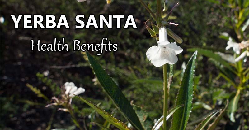 yerba santa health benefits