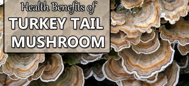 Health Benefits of Turkey Tail Mushroom (Not Just for Cancer)